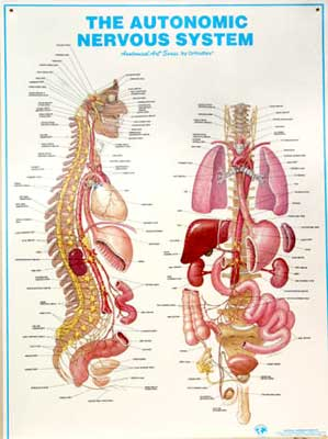 nervous chart: Anatomical charts art series ny orthoflex momentum98
