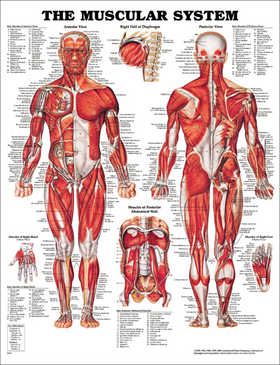 The Muscular System Chart